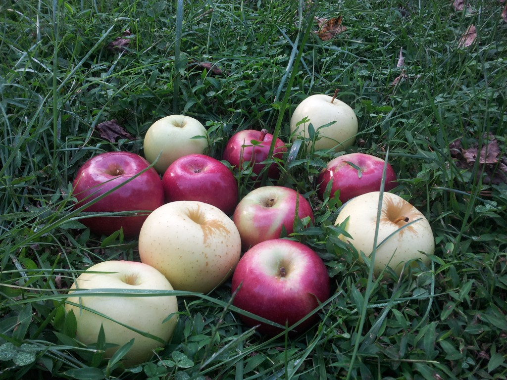 Apples in the grass, a still life